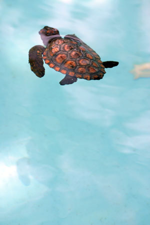 bebe tortue nageant